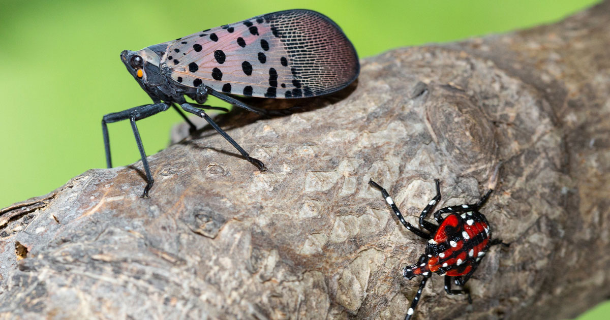 adult and immature spotted lanternfly