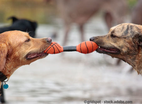 Dogs playing tug of war, like Gov. Inslee and Washington state legislators