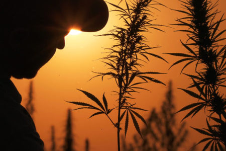 Silhouette of man, hemp leaves.