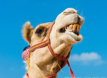 Grimacing camel