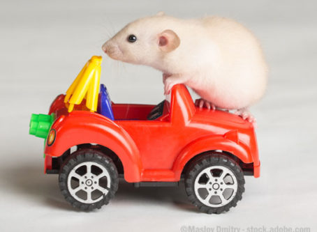 Rat on a toy car
