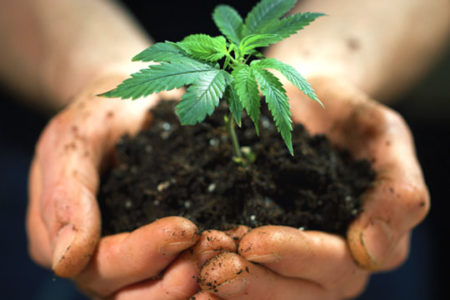 hemp production, plant cupped in hands
