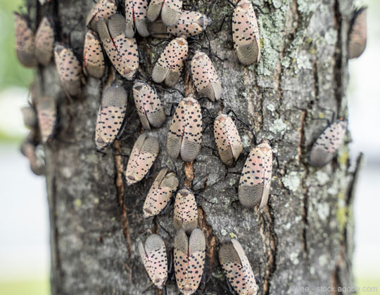 Spotted lanternflies